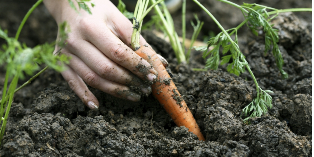 hand holding carrot covered in soil