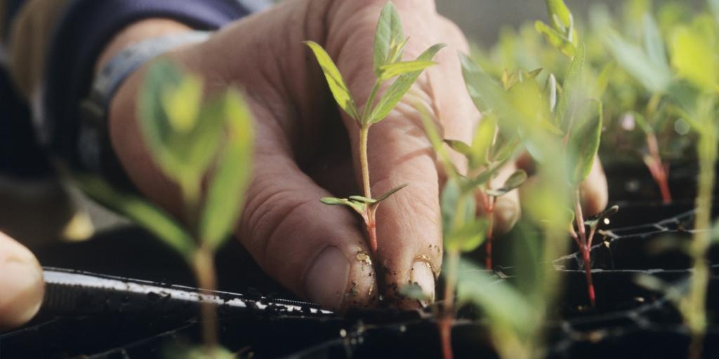 hand tending to many seedlings